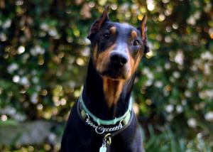 Toby - Georgia Doberman Rescue