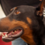 Gideon - Georgia Doberman Rescue